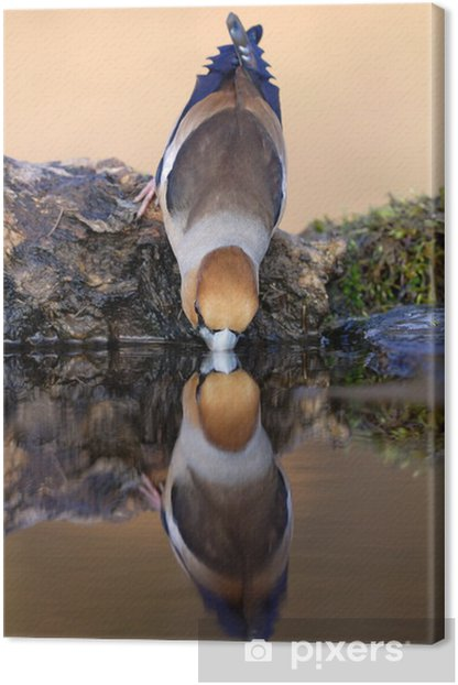 Drinking hawfinch reflecting in water Canvas Print - Birds