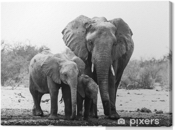 Elephant Family In Black And White Canvas Print Pixers We Live