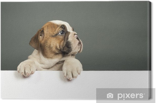 English bulldog puppy. Canvas Print - Mammals