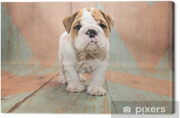 English Bulldog with blue and tan patterned wood background Canvas Print - Animals