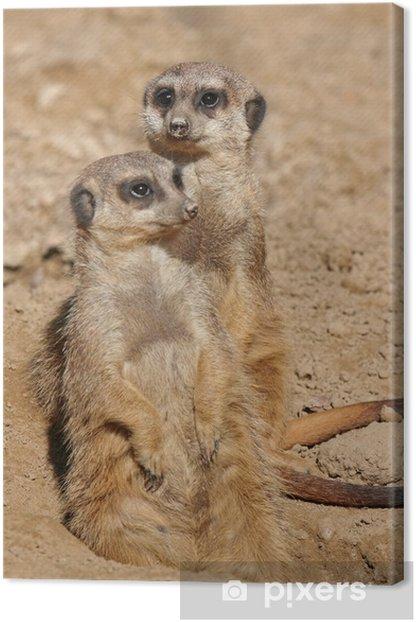 Erdmännchen, südliches Afrika, Suricata suricatta Canvas Print - Africa