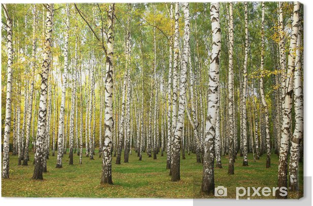Evening autumn birch forest in sunlight Canvas Print - Themes