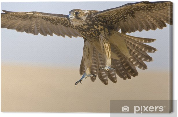 Falcon In Flight Canvas Print - Birds