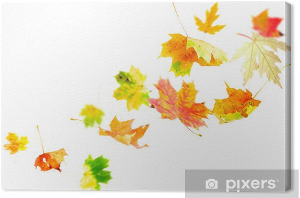 Falling Maple Leaves isolated on white Canvas Print - Seasons