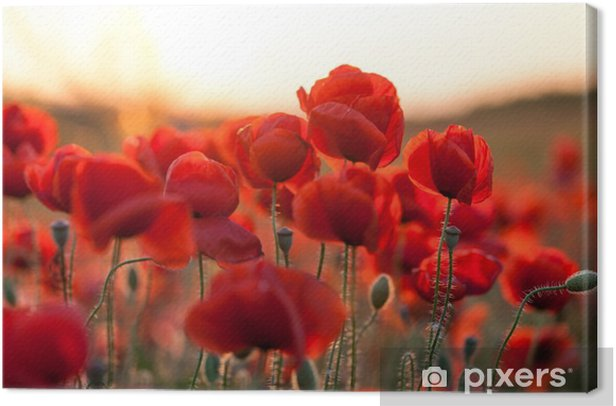 feuriger Mohn Canvas Print - Plants and Flowers
