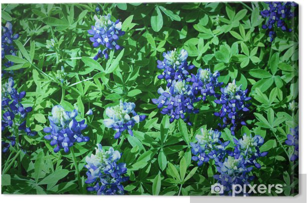 Field of Bluebonnets Close Up Canvas Print - Agriculture