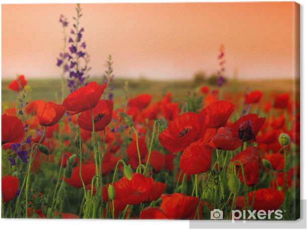 Field of poppies on a sunset Canvas Print - Themes