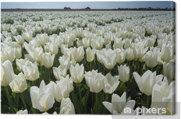 field of tulips with a blue sky Canvas Print - Flowers