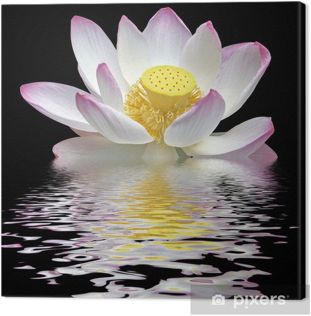 fleur de lotus sur fond noir Canvas Print - Flowers