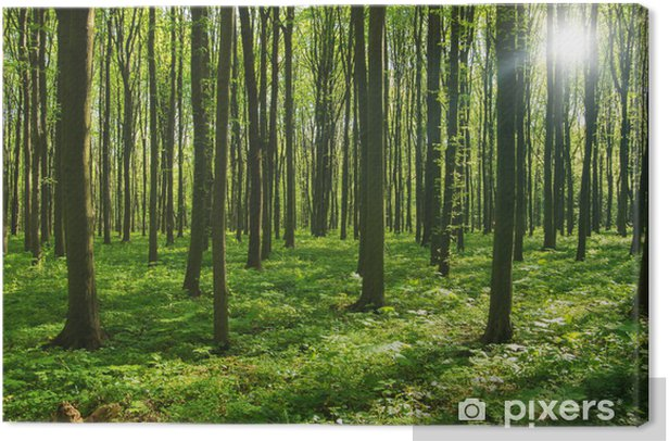 forest trees. nature green wood sunlight backgrounds. Canvas Print - Destinations