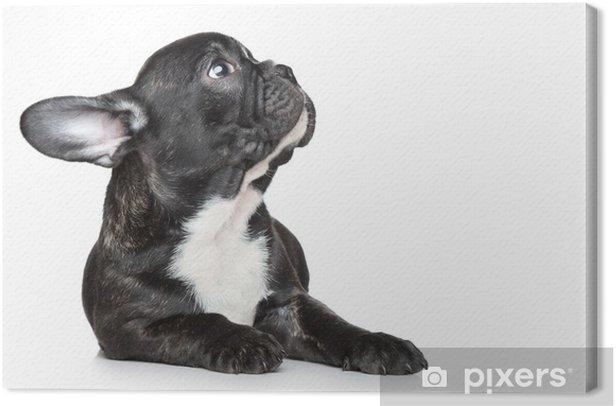 French bulldog puppy looking up Canvas Print - Mammals