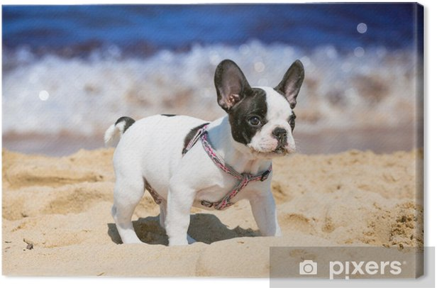 French bulldog puppy playing on the beach Canvas Print - French bulldogs