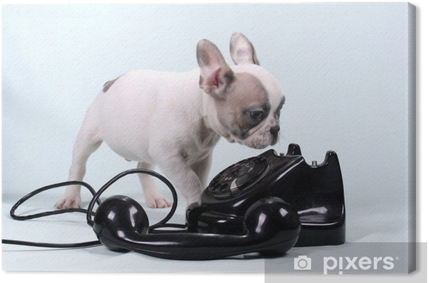 French Bulldog Puppy & Telefon Canvas Print - French bulldogs