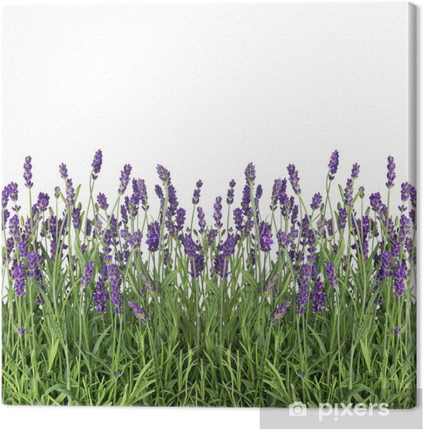 fresh lavender flowers isolated on white Canvas Print - Herbs