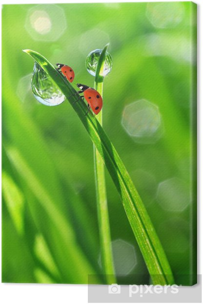 fresh morning dew and ladybirds Canvas Print -