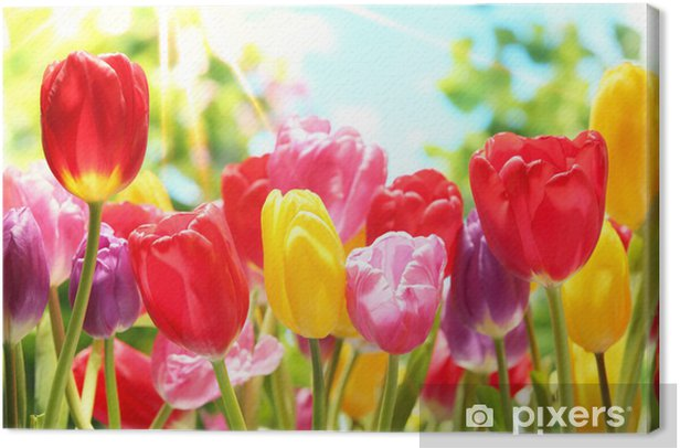 Fresh tulips in warm sunlight Canvas Print - Themes