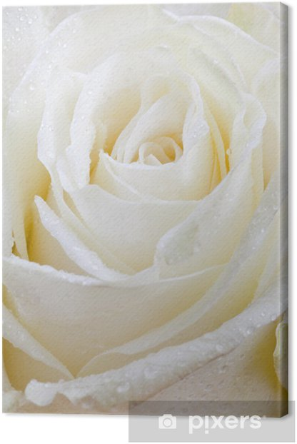 fresh wet white rose Canvas Print - Flowers