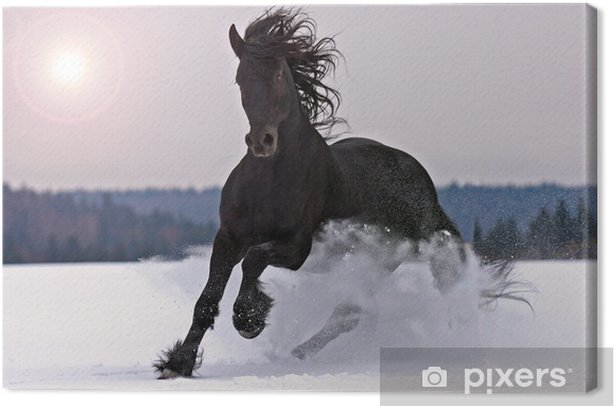 Frisian horse on snow Canvas Print - Themes