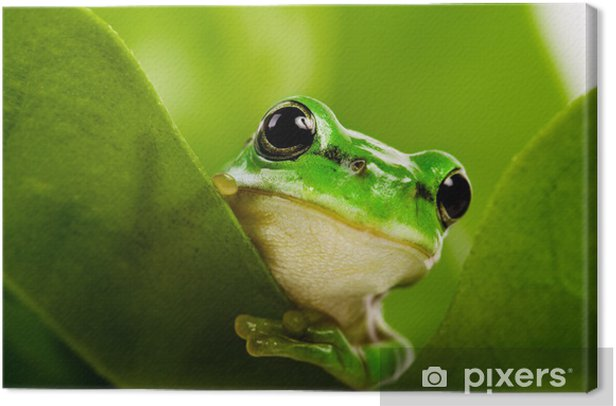 Frog peeking out Canvas Print - Frogs
