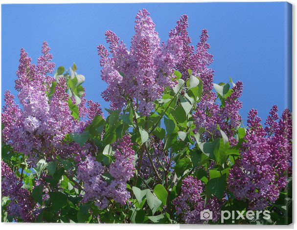 full blown common lilac Canvas Print - Trees