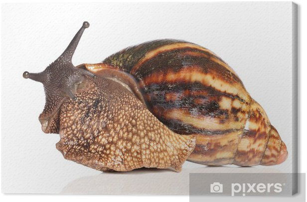 Giant African snail crawling Canvas Print - Aquatic and Marine Life