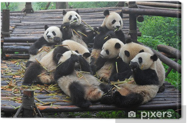 Giant panda bears gather for bamboo meal Canvas Print - Themes