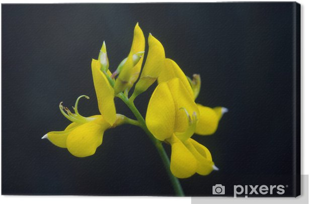 Ginster Canvas Print - Flowers