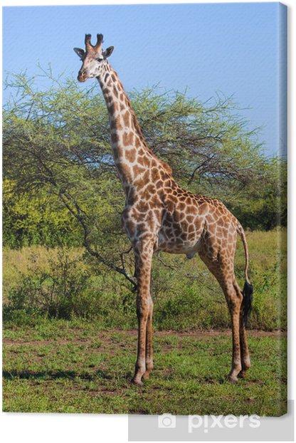 Giraffe on savanna. Safari in Serengeti, Tanzania, Africa Canvas Print - Themes