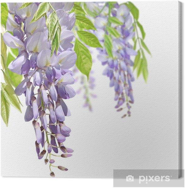 glycine mauve Canvas Print - Flowers