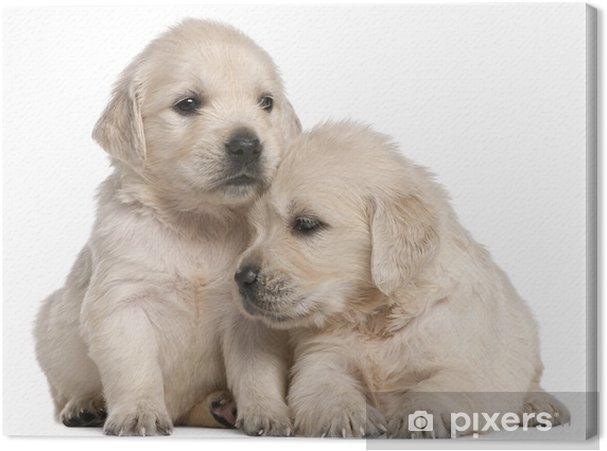 Golden Retriever puppies, 4 weeks old Canvas Print - Mammals