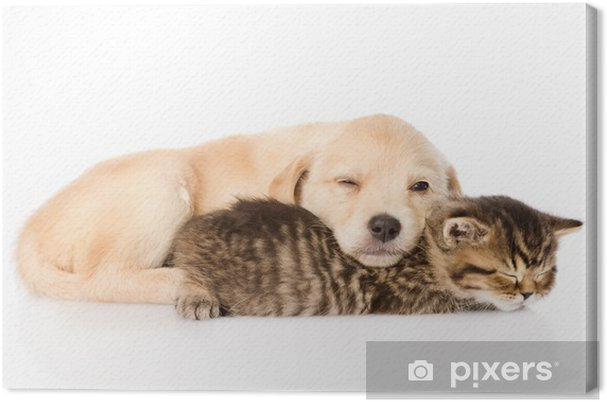 Golden Retriever Puppy Dog And British Cat Sleeping Together Canvas