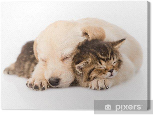 golden retriever puppy dog sleep with british kitten. isolated Canvas Print - Mammals