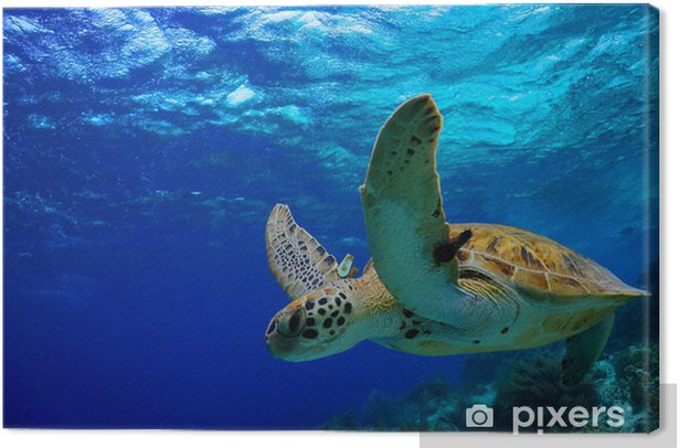 Green Sea Turtle swimming along tropical reef Canvas Print - Other Other