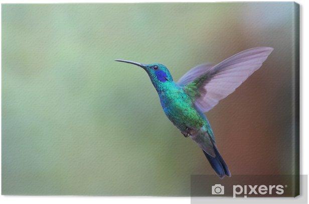 Green violetear hummingbird in flight in Costa Rica Canvas Print - Animals