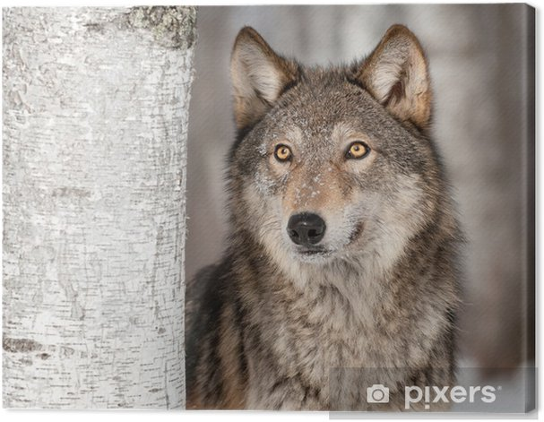 Grey Wolf (Canis lupus) Looks Up Canvas Print -
