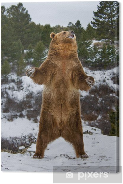 Grizzly Bear Canvas Print - Themes