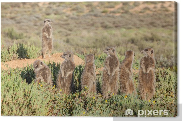 Group of Meerkat in grass Canvas Print - Aquatic and Marine Life