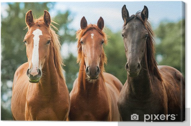 Group of three young horses on the pasture Canvas Print - Themes