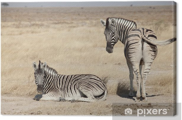 group of zebra Canvas Print - Themes