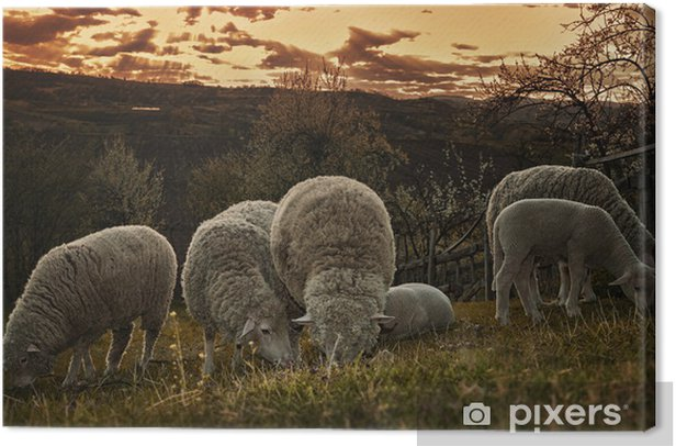 Groups of sheep grazing in a pasture Canvas Print - Mammals