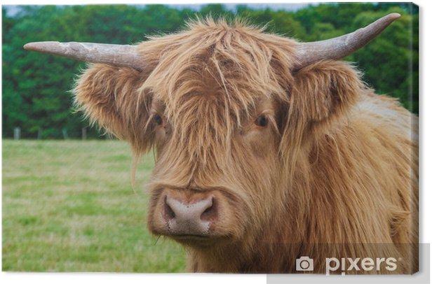 Highland Longhorn Cattle Canvas Print - Mammals
