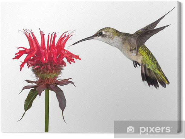 Hummingbird and Monarda Canvas Print - Birds