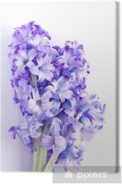 Hyacinth flower on white background Canvas Print - Flowers