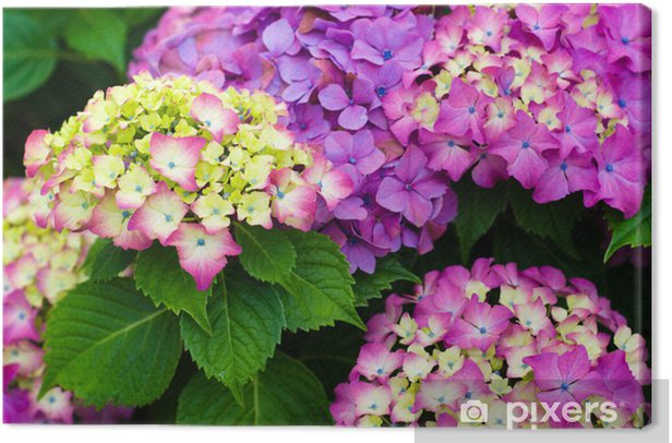 Hydrangeas garden Canvas Print - Home and Garden