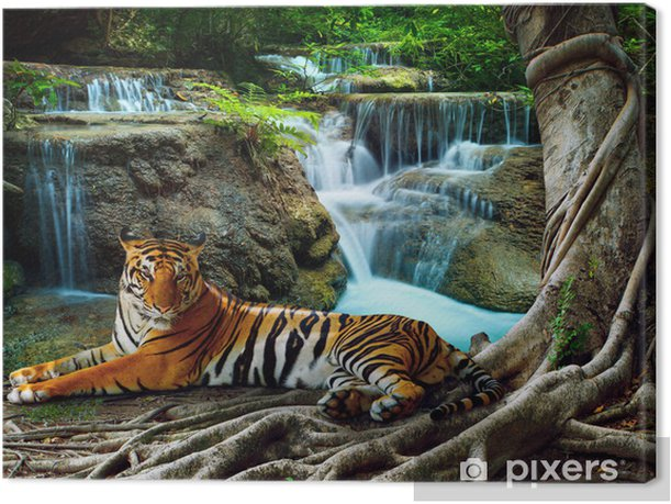 indochina tiger lying with relaxing under banyantree against bea Canvas Print - Tigers