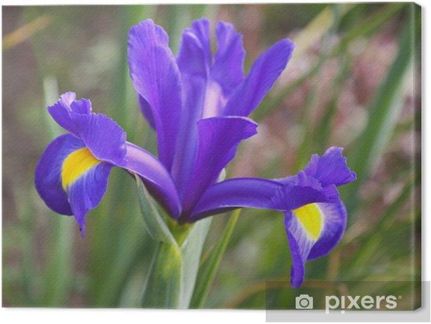 Iris flower of the Blue Magic variety Canvas Print - Flowers