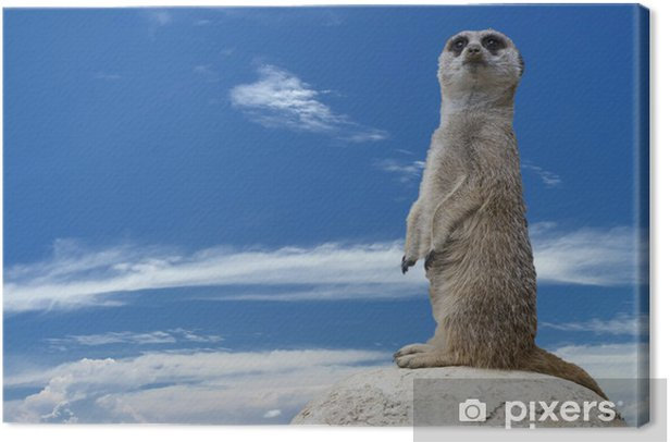 Isolated meerkat looking at you Canvas Print - Mammals