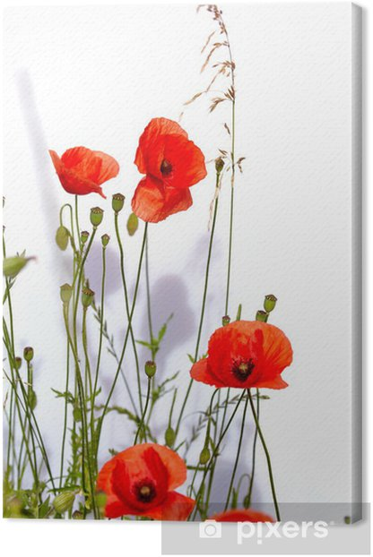Isolated red poppies Canvas Print - Flowers