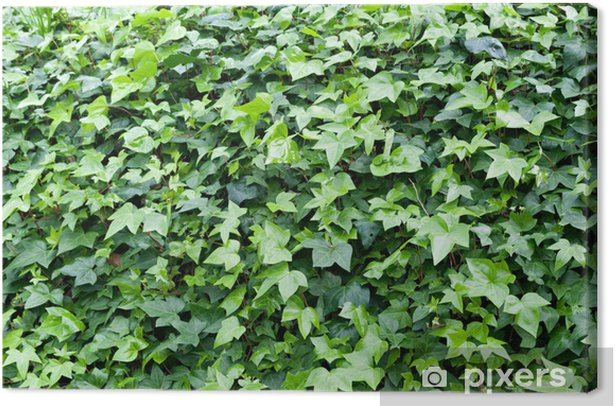 Ivy Plant Canvas Print - Plants