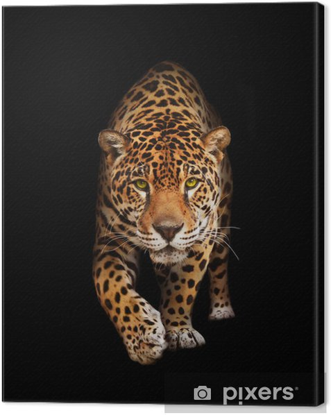 Jaguar in darkness - front view, isolated Canvas Print -